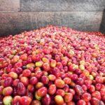 コーヒーチェリーの果肉ってどうなるの?