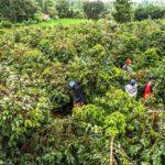 コーヒー農園の風景 ~ちょっとした豆知識~