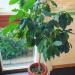 いつか日本でコーヒー豆が栽培できるようになる日がくる?