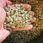 ハワイ島でのコーヒー栽培体験、コーヒーの実の収穫は大変なんだよの巻