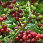 コーヒーの実の収穫って大変なんです!のお話